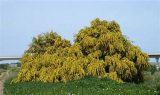 erbe magiche e curative acacia