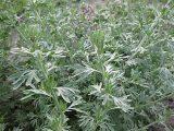 erbe magiche e curative assenzio