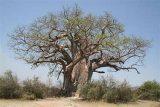 erbe magiche e curative baobab