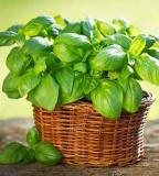erbe magiche e curative basilico