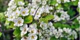 erbe magiche e curative biancospino