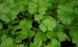 erbe magiche e curative coriandolo