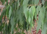erbe magiche e curative eucalipto