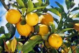 erbe magiche e curative limone