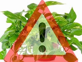 erbe e piane velenose